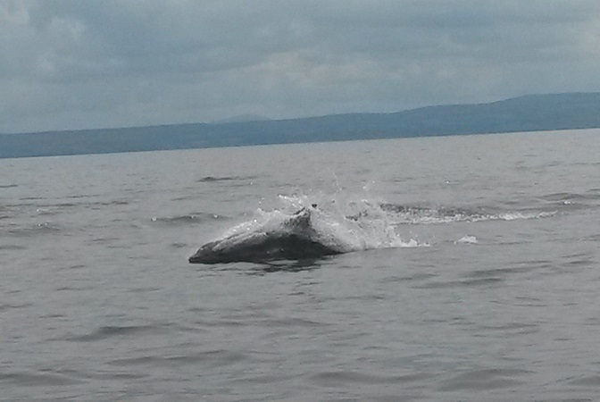 dolphins in the Foyle